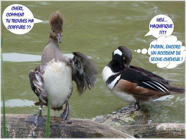 harle-couronne-male-et-femelle-coiffure-accident-de-seche.JPG