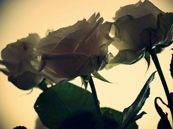 Chocoshoot-trois-04---Les-roses-vont-par-trois.jpg