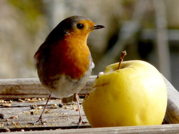 Rouge gorge pomme