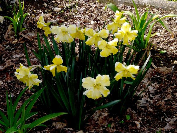 Bouquet-Narcisse banc et jaune jaune