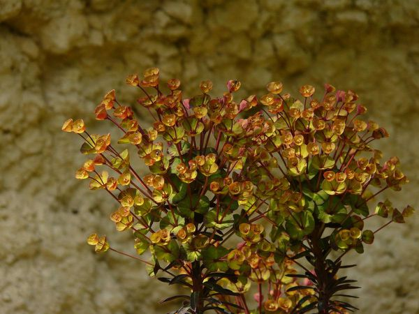 Euphorbe-O-noir-fleur-01.jpg