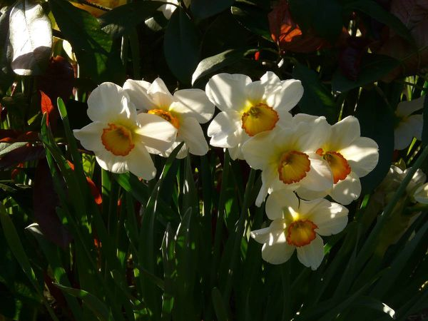 Narcisse Flower Record