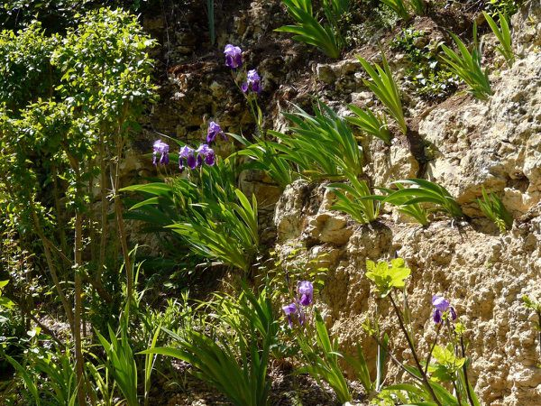 Rocaille Iris large