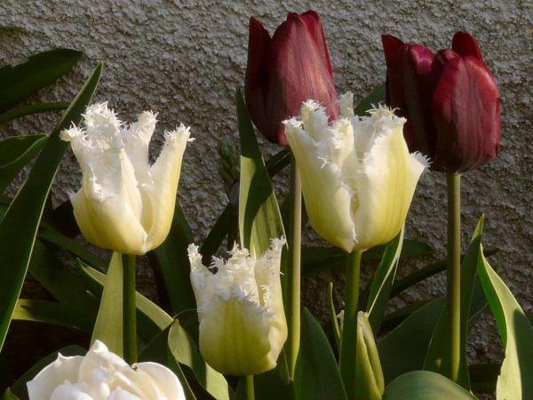 Swan-Tulipa-Wings-09.jpg