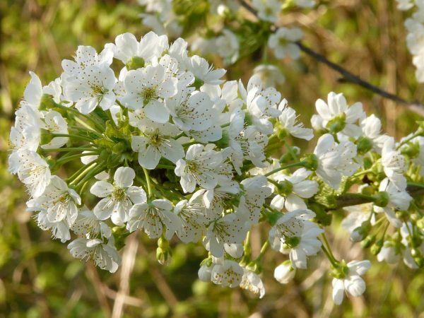 Trompegeai fleurs 01
