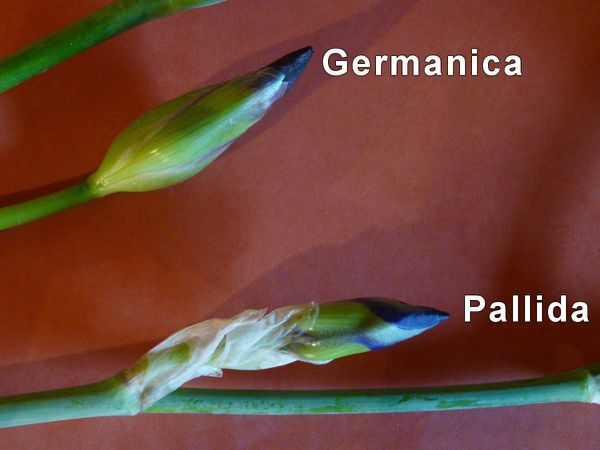 Iris-germanica-pallida.jpg