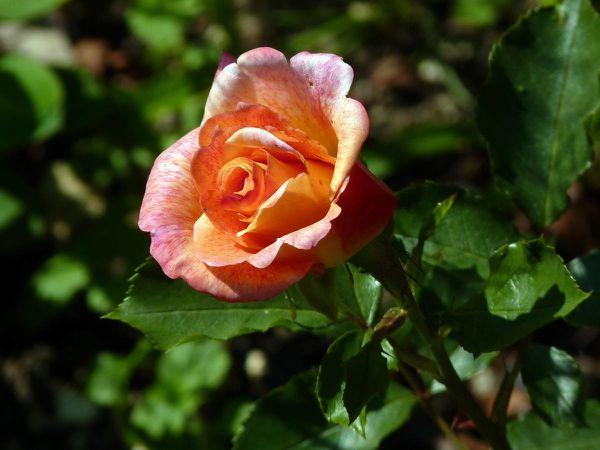 Rose Michel Serrault 12