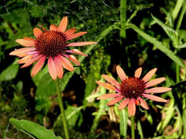 Echinacea-orange-2.jpg