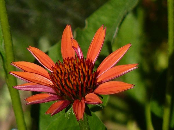 Echinacea-orange.jpg