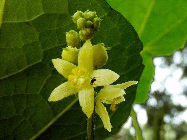 Chouchour-fleurs-male.jpg