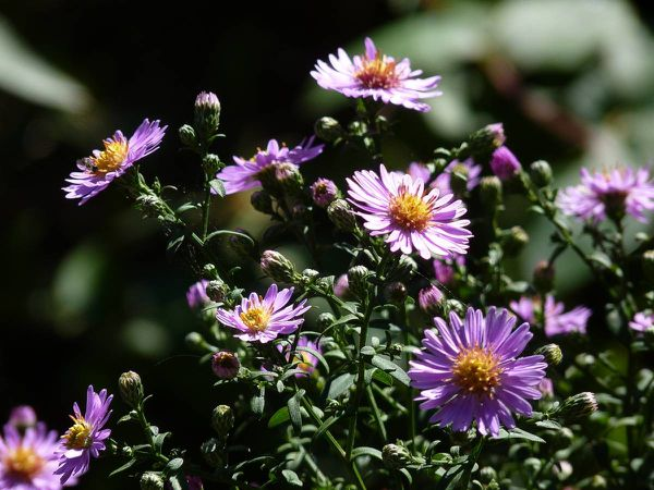 Aster 20-09-002