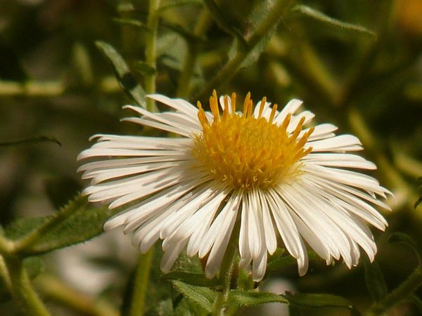 Aster 20-09-006