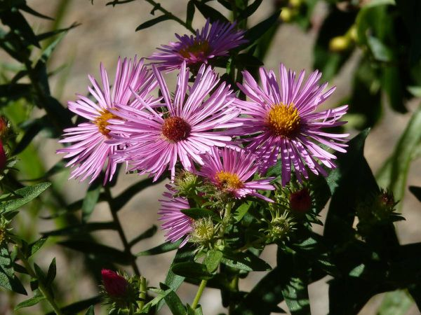 Aster 20-09-007