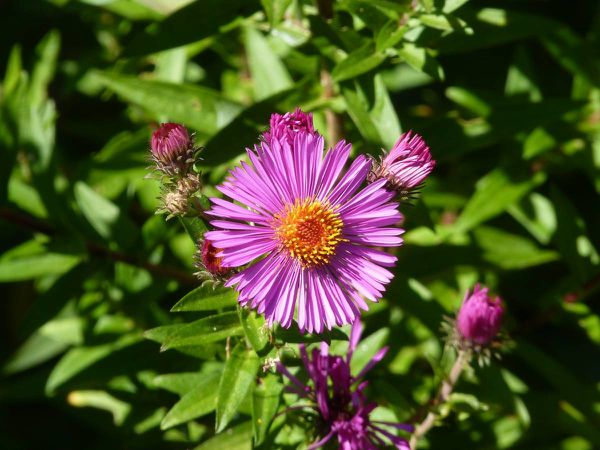 Aster 20-09-009