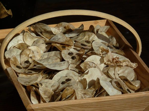 M du Pape-panier feuilles graines