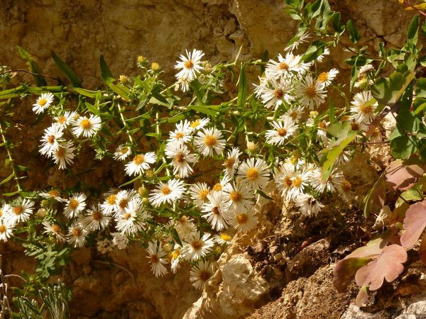 Aster blanc - branche