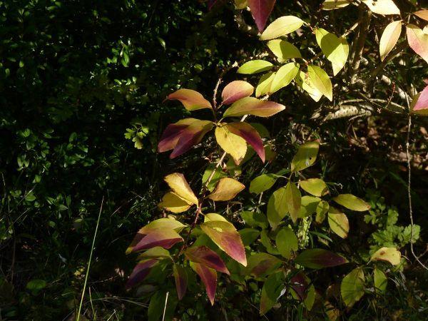 Forsythia feuille automne 02