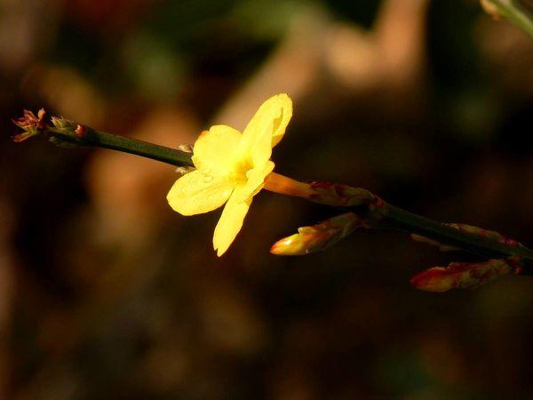 Jasmin hiver-tige et fleur