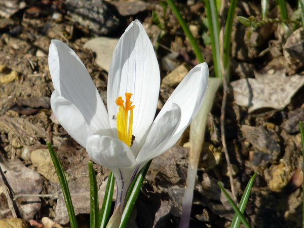 Crocus-Jeanne d Arc