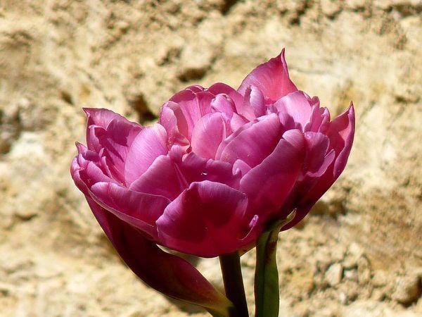 Tulipe rose double