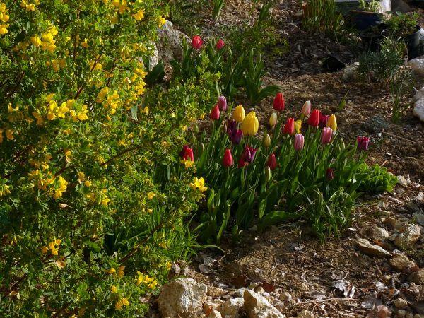 Tulipes variées le matin2