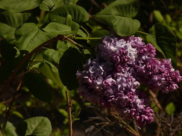 Lilas Katherine Havemeyer