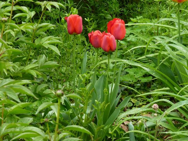 Tulipes rouge 4