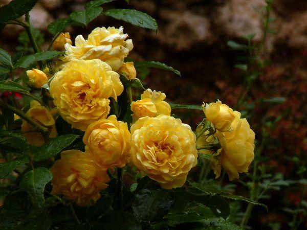 Rose-1 tige Anny Duperey