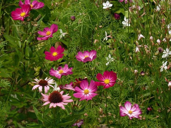 Cosmos Picotee and co