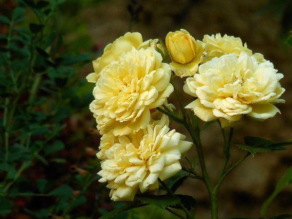 Roses-A-D-B