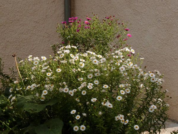 Asters-Miracle Blanc-Septembre Rouge