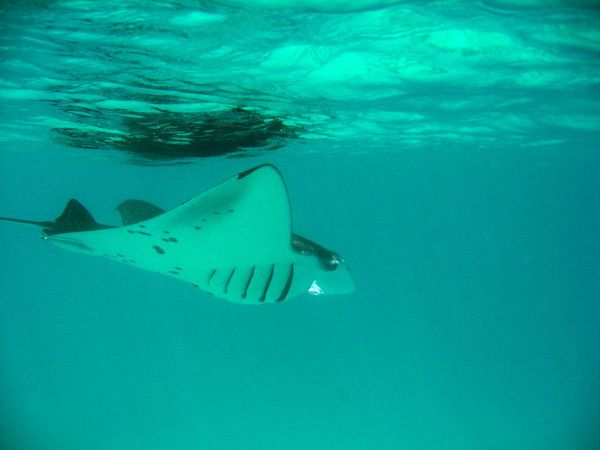 2010-04-05 raies mantas mayotte jc (68)