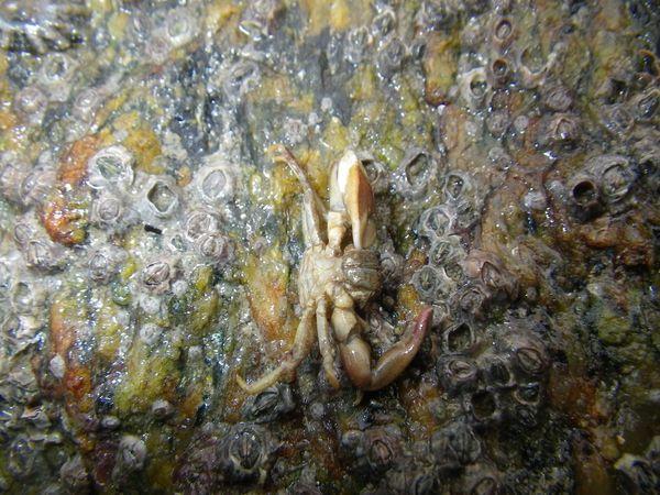2011-12-26 Crabe Pisidia longicornis (2)