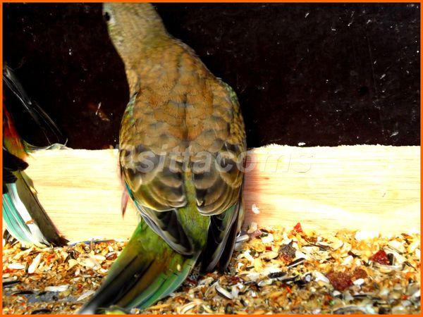 femelle verte orange facteur foncé p2