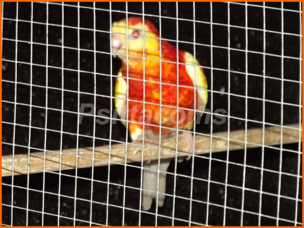 mâle croupion rubino rouge P orange