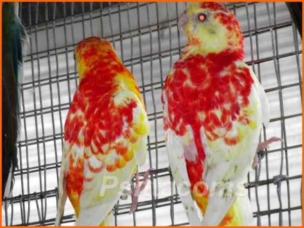 Psittacoms, jeunes mâles rubino P d'orange, 2013
