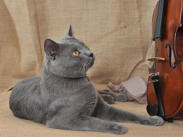 chats-chartreux.jpg
