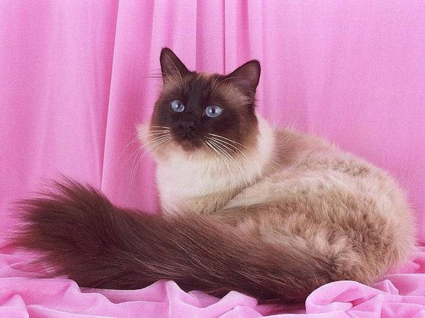 chats-sacre-de-birmanie.jpg