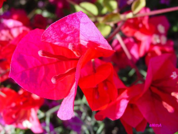 Bougainvilliers-rouges.jpg