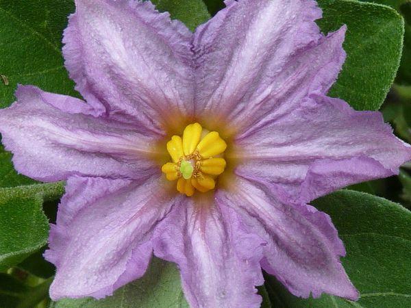 Floraison-Aout-2011-098.jpg