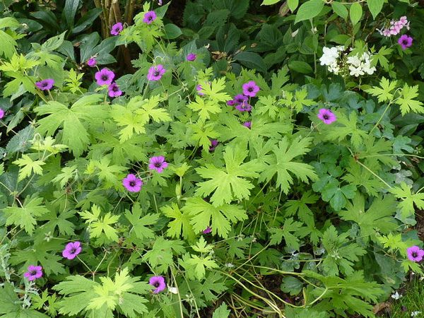 Floraison Août 2011 084