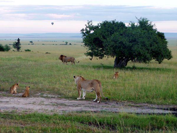 Famille lion aube
