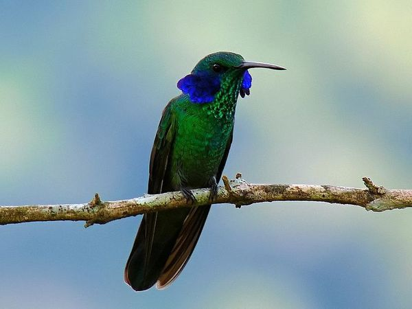 800px-Green Violet-ear (Colibri thalassinus) 13
