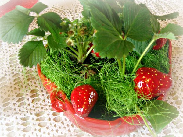 2013-05-02 fraise 005bis