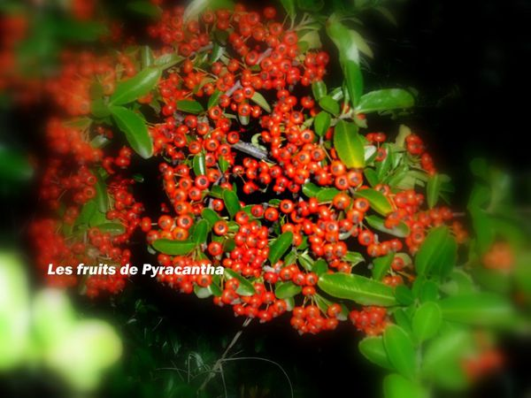 fruits-pyracantha.jpg