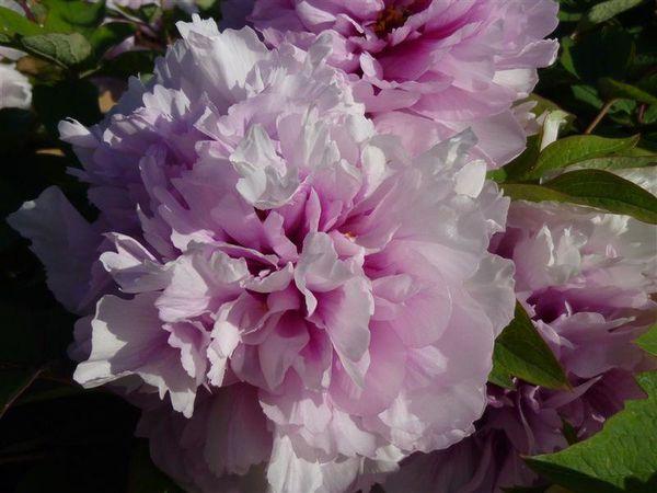 pivoine-rose.JPG