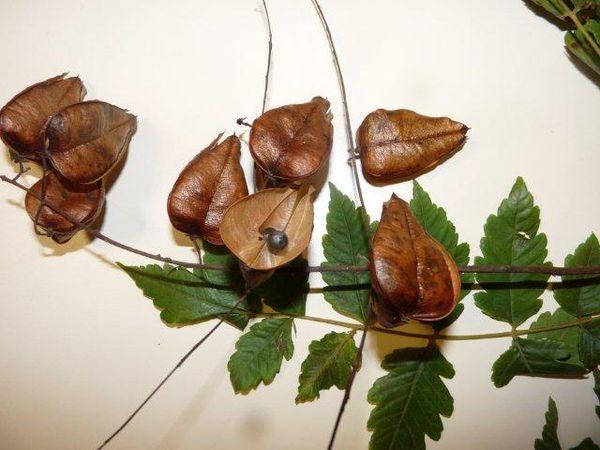 Koelreuteria paniculata Yves oct 2010