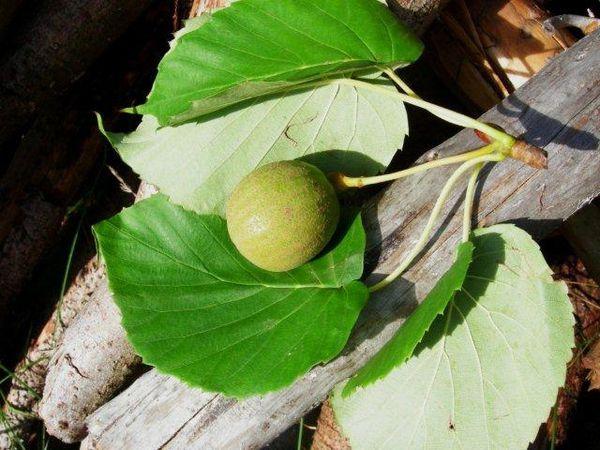 Arbre aux mouchoirs fruit Annecy 6.10.06.JPG