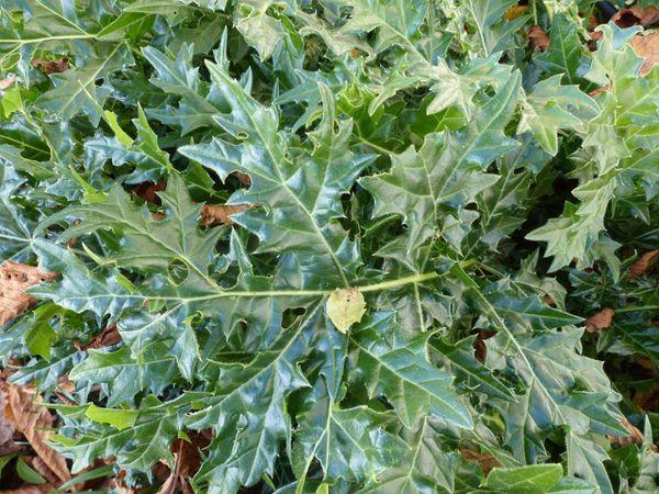 Acanthus-spinosus-Menthon--19-nov-14.jpg