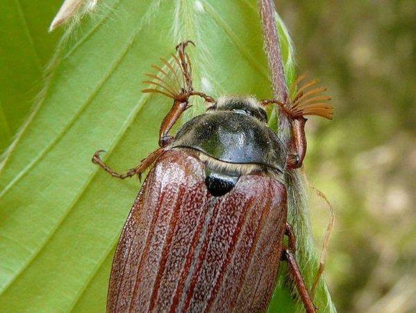 Hanneton antenne 7 lames mâle